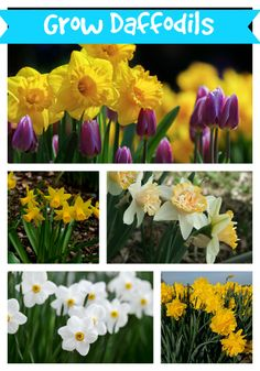 We put together a guide for growing daffodils. They aren't overly difficult but we cover all the things that my give you a hard time.