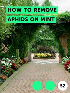 How to Remove Aphids on Mint. Mint grows well as a perennial in most gardens, but the plants are prone to aphid infestations. These soft-bodied insects latch onto the underside of the mint leaves. The aphids pierce the foliage and suck out the sap. Their feeding eventually weakens the leaf so it turns yellow, curls up and begins to die. A severe...