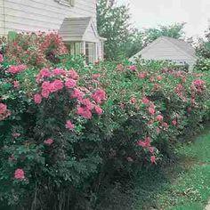 Hardy Rugosa Rose Hedge