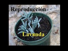Cómo cultivar la planta de lavanda con semillas y esquejes - YouTube