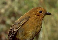 De familie Grallariidae - Vogelplein BE-NL