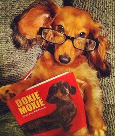 dachshund in glasses