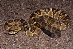 Black Tailed Rattlesnake by Gary Nafis