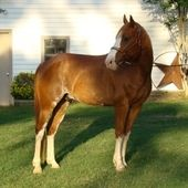FLASH REGISTERED SORREL OVERO QAURTER HORSE GELDING Quarter Horse for sale in Chireno, Texas :: HorseClicks