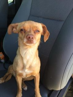 Unknown Outcome  ID35452909  SpeciesDog  BreedChihuahua, Short Coat  Age9 months 3 days  GenderFemale  SizeSmall  ColorTan  SiteDepartment of Animal Services, City of El Paso  LocationKennel B  Intake Date5/24/2017