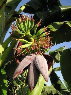 Orinoco bananas