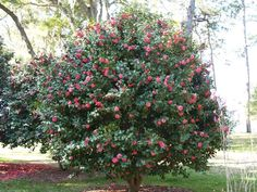Camellias naturally grow as a small to medium shrub but may also be trained to grow as a small tree. Choose a camellia that's naturally tall and wide, and in late winter or early spring once it's finished blooming, prune away lower branches and stems until you get the look you're after.