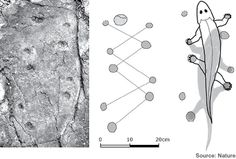 Tetrapods are four-legged vertebrates that were first thought to have appeared in the late Devonian Period, and they were thought to be descendants of elpistostegid fishes like Tiktaalik and Panderichthys. But in 2010, in Poland, scientists found tetrapod tracks from the middle of the Devonian Period, meaning tetrapods appeared earlier than previously thought.