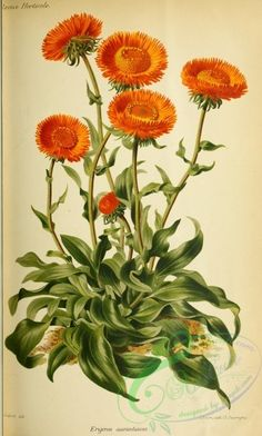 Image Friday Orange Blooms Free vintage image from . Perfect for paper crafts and scrapbooking!Free vintage image from . Perfect for paper crafts and scrapbooking! Illustration Blume, Illustration Botanique, Nature Illustration, Floral Illustrations, Vintage Botanical Prints, Botanical Drawings, Vintage Botanical Illustration, Botanical Flowers, Botanical Art