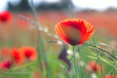 The poppy! by patthom974 #nature #mothernature #travel #traveling #vacation #visiting #trip #holiday #tourism #tourist #photooftheday #amazing #picoftheday