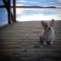 my dream pup : pembroke welsh corgi ❤️ Fluffy Animals, Animals And Pets, Baby Animals, Cute Animals, Corgi Pictures, Animal Pictures, Corgi Dog, Dog Cat, Cute Dogs And Puppies