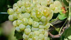 Uva Arinto - Dá-lhe Portugal. Geralmente seu vinho é espumantes e destacam-se pela excelente acidez e o aroma leve.