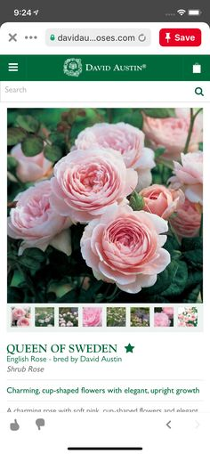 Queen Of Sweden, Shrub Roses, David Austin, English Roses, Shrubs, Elegant, Flowers, Plants, Pink