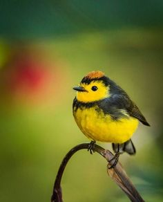 Paradise of birds  -    Collared Redstart. Photo by Bill Holsten  For More like └▶ Paradise of birds