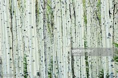 Image result for birch tree south africa