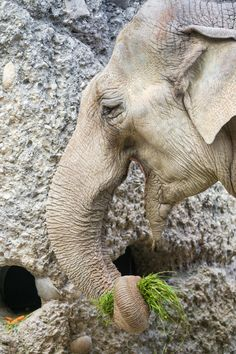 https://flic.kr/p/qsLWLc | Elephant eating grass | One of the female elephants of the Zürich zoo holding grass in her trunk in order to eat it.