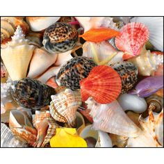 Seashells 1500 Piece Puzzle: Beautiful jewels of the sea arranged in a challenging collage for the avid puzzler and anyone looking for a challenging afternoon! A Best Selling 2009 Winter/Spring Collection Puzzle by Springbok Andrea Matone/Alamy.  $19.99  http://calendars.com/Nature/Seashells-1500-Piece-Puzzle/prod201000009642/?categoryId=cat00732=cat00732#