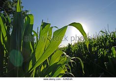 August 2005 A corn field near the village of Wilkinstown County Meath Ireland Photo copyright Barry Cronin Chromepix - Stock Image