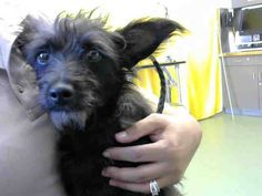 DOROTHY- ID#A608567 (available 10/23) **RESCUE ONLY - BEHAVIOR. MUST EXIT IN CRATE WITH APPROVED RESCUE BY 6:30 PM ON THURSDAY 10/23. IF NOT OUT OF THE SHELTER BY THEN, SHE COULD BE KILLED AFTER THE SHELTER CLOSES**  I am a female, black Terrier. Ask for information about animal ID number A608567 — with Nicole Espinosa and Macaulay Woods at Devore Shelter at 19777 Shelter Way, Devore, CA 92407 in San Bernardino County, CA 92407: (909) 386-9820, ext 0.