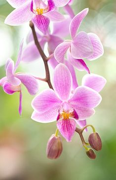 Orchids...a Chinese fertility symbol.  Also linked to concepts of scholarship, friendship, and refinement.