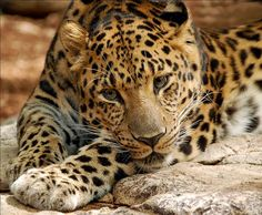 Save the Amur Leopard!At the top of the Endangered list we have the Amur Leopard. I want everybody to sign to save this poor Amur Leopard that may go extinct! Most Endangered Animals, Rare Animals, Animals Images, Endangered Species, Wild Animals, Dumb Animals, Dangerous Animals, Extinct Animals, Majestic Animals
