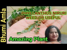 Medicinal benefits of Bhumi Amla/Bhui Awala/Country gooseberry. - YouTube Medicinal Plants, Benefit, Medicine, Country, Youtube, Rural Area, Healing Herbs, Country Music, Medical