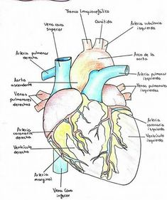 Medicine Notes, Medicine Student, Nursing School Notes, Human Body Anatomy, Medical Anatomy, Anatomy Study, Medical Facts, Med Student, Anatomy And Physiology