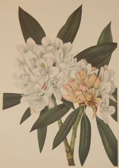 Rosebay Rhododendron 1925 Vintage Botanical Print. The overall paper size is 12 by 9 inches with an impressed area of 9 1/2 by 7 , the print area being 9 by 7 inches approximately. Vintage Botanical Prints, See Picture, Prints For Sale, Paper Size, Printing Process, Wild Flowers, Stamp, Drawings, Artist