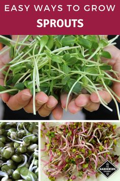 5 Easy Ways to Grow Your Own Sprouts Learn these five easy methods to grow your own sprouts. Try growing sprouts using trays, soil, a jar, a hemp bag, and paper towels. Bean Sprouts Growing, Growing Beans, Growing Microgreens, Growing Vegetables, Sprouting Seeds, Organic Gardening Tips, Vegetable Gardening, Edible Garden, Gardens