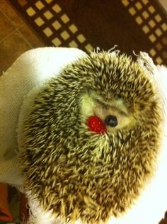 Just a hedgehog with a raspberry. Looking adorable....