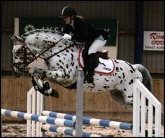 The Knabstrupper (the other breed of spotted horse) is a warmblood breed from Denmark.  There are only a few  in the United States.
