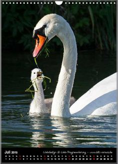 Home - motiv-digital Swan Song, San Diego Zoo, Mothers Love, Animals And Pets, Habitats, National Parks, Wildlife, Creatures, Birds
