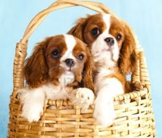 cavalier king charles spaniel - Google Search