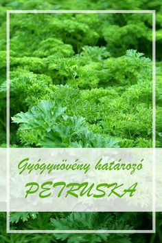 Parsley, Spices, Herbs, Herb