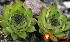 House leek Seeds ( Sempervivum Tectorum ) Hens and Chicks-mat-forming succulent Planting Seeds, Planting Succulents, Garden Plants, House Plants, Cactus, Natural Treatments, Natural Cures, House Leek, Purple Tips