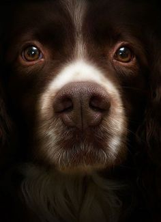 look at those puppy dog eyes / precious close-up #dogs visibility ...