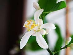 Комнатный лимон. Выращивание уход. Plants, Planters, Plant, Planting