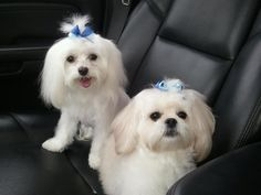 A Maltese and a Maltipoo... Friends for life. Spoiled ROTTEN!