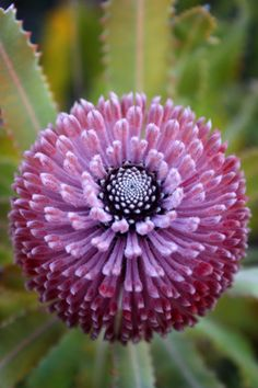 Garden Flowers Banksia By Jenny Ross Unusual Flowers, Rare Flowers, Amazing Flowers, Purple Flowers, Beautiful Flowers, Beautiful Gorgeous, Australian Wildflowers, Australian Flowers, Australian Plants