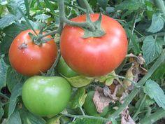 Archivo: Fruto de la tomatera en la planta.JPG
