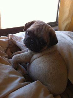 Sleepy pug puppy is so cute!