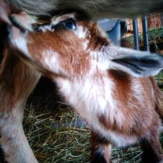 Welcome tiny babies to #countryhomefarm! #mininubian second generation!  #blessed