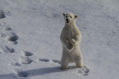 Polar bear cub by Dmytro Cherkasov on 500px