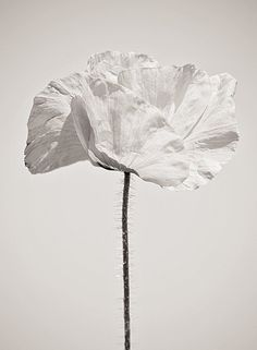 White poppy flower, soft and airy flower photography