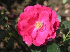 Rödhätte Poulsen Rose