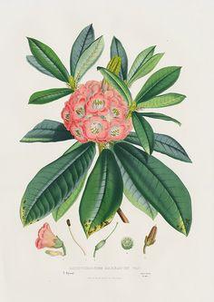 Rhododendrum Barbatum for Louis Van Houtte 1845