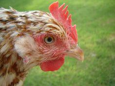 An Aloha hen with blue eyes.