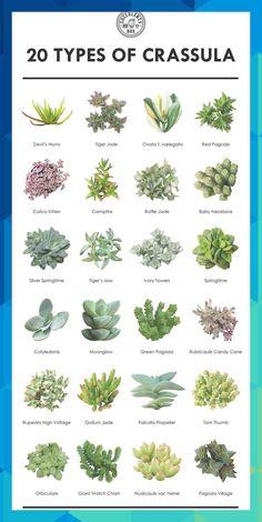 Plante Crassula, Crassula Succulent, Succulent Gardening, Succulent Terrarium, Succulents Garden, Garden Plants, Succulent Plants, Terrarium Wedding, Garden Cactus