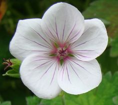 This is a true beauty and a must-have! Beautifully marked, soft dull green leaves and masses of white flowers with pink veins and a crimson centre. SOLD OUT - MORE AVAILABLE SPRING 2020 Plant Nursery, Geraniums, True Beauty, Green Leaves, Evergreen, White Flowers, Perennials, Floral, Plants
