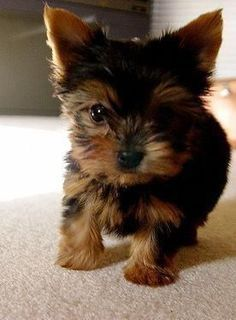 yorkshire terrier miniature–love at first sight. if I ever get a small dog this… yorkshire terrier miniature–love at first sight. if I ever get a small dog this is sooo what I am getting Cute Puppies, Cute Dogs, Dogs And Puppies, Rescue Puppies, Corgi Puppies, Yorshire Terrier, Bull Terriers, Top Dog Breeds, Softies